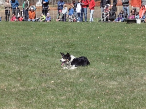 A black-and-white herding dog crouched in the grass