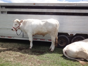 A 2-year-old white ox tied to a trailer