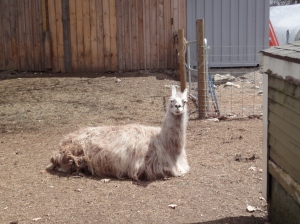 A llama lying down in the dirt, head up, facing the camera